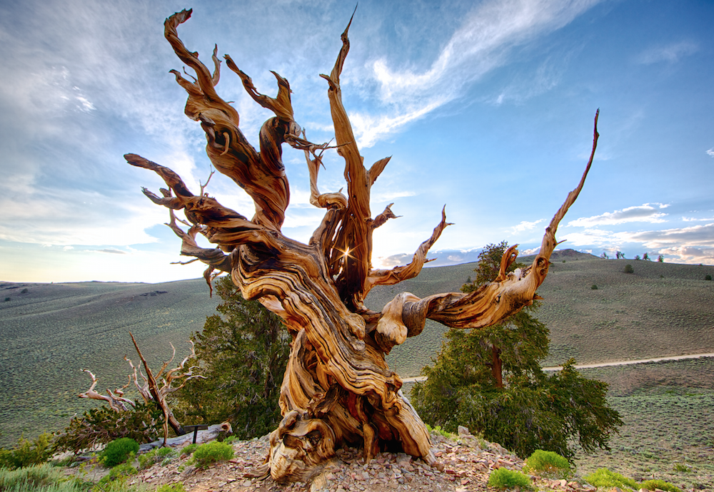 Metusalem; De oudste boom ter wereld