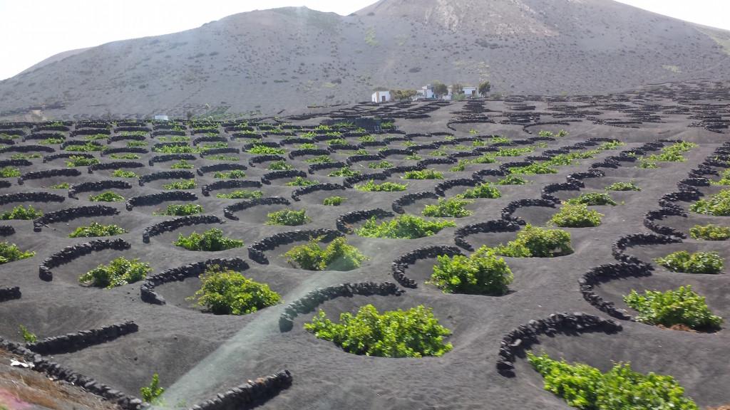 Lanzarote - Verbouw van druiven